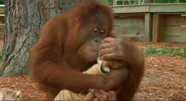 Skutečný otec: Obrovský orangutan si myslí, že je otcem malých tygřích mláďat