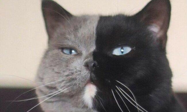 Kocour s dvojí tváří z Francie se stal otcem: fanoušci se s obdivem dívají na koťata