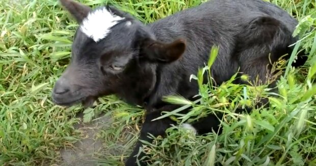 """""""Její oči jsou jiné"""": Obyvatelé ukázali kozu-kyklopa veterináři. Jak se cítí zvíře"""