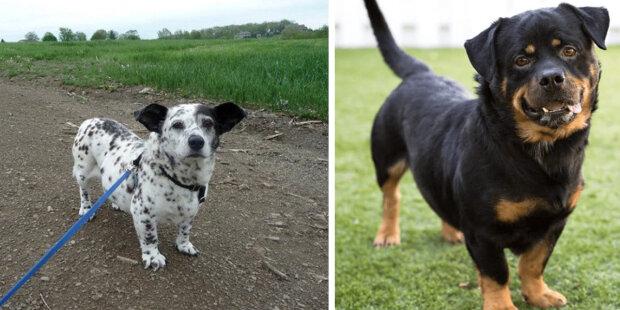 Roztomilé a chlupaté: Kříženci Corgi s jinými plemeny vypadají jako Corgi v kostýmech jiných plemen psů