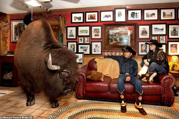 """""""Domácí mazlíček"""": pár si pořídil bizona a teď se s nimi večer dívá na televizi"""