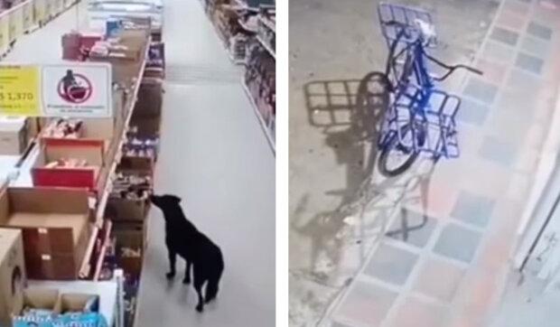 Dokonalý zločin: pes vzal v obchodě pytlík s krmivem, zapomněl zaplatit a utekl neznámým směrem