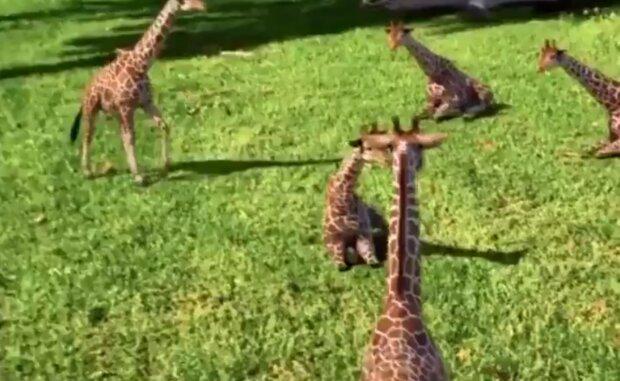 Žirafy. Foto: snímek obrazovky YouTube