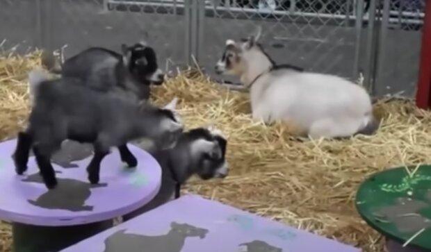 Kozy. Foto: snímek obrazovky YouTube