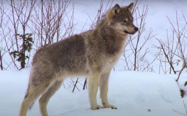 Vlk. Foto: snímek obrazovky YouTube