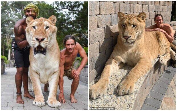 """Bílý """"ligr"""" Apollo, kříženec lva a tygra, dosáhl vrcholu svého růstu a stal se největším na světě"""