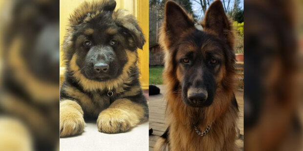Malý chlupáč s čumákem se proměnil ve velkého a hrozivého psa: fotky jak se mění a rostou štěňata