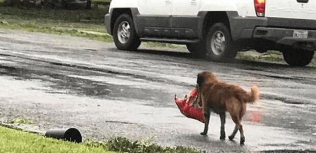 Pes Pugh nezoufal a tvrdohlavě táhl těžkou tašku až k samému prahu