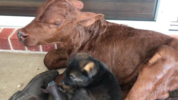 Telátko a pes. Foto: snímek obrazovky YouTube