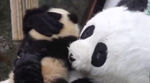 K čemu se pracovníci rezervace oblíkají jako pandy: jak zachránit ohrožený druh zvířat
