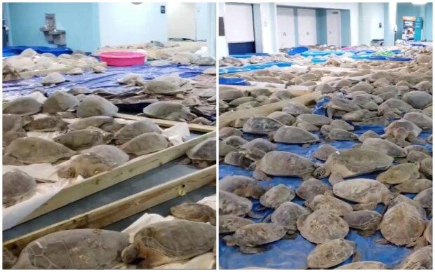 """""""Zachránit všechny"""": V Texasu kvůli anomálním mrazům dobrovolníci zachraňují tisíce mořských želv. Jak si lidé berou zvířata domů"""