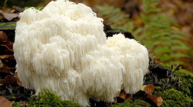 Korálovec ježatý a další úžasné jedlé houby, které rostou v Česku