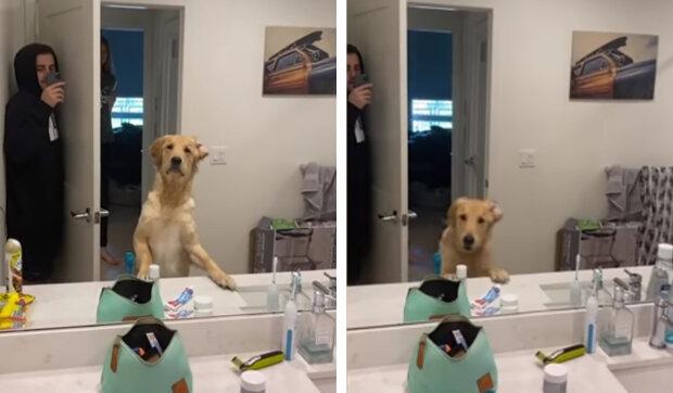 Reakce psa, který se snaží pochopit, jak fungují zrcadla, aby našel majitele