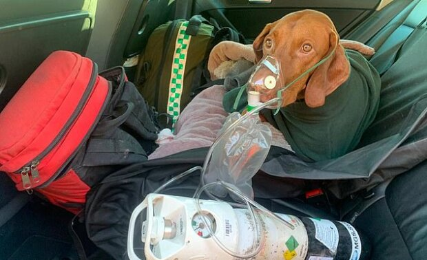"""""""Uměl se narodit"""": Pes Walter přežil pád z velké výšky, ale 24 hodiny po dobrodružství se směle vrátil domů"""