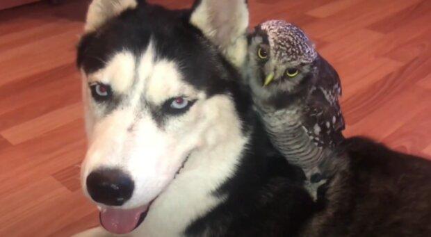 Pes a sova. Foto: snímek obrazovky YouTube