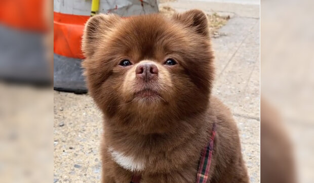 """""""Příliš velké a načechrané"""": štěně, které vypadá jako medvídek, hodili do útulku"""