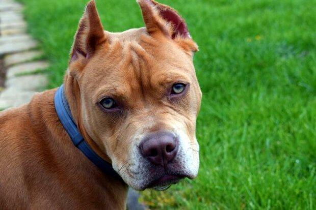 Pitbull nepustil majitele do domu, protože pes cítil, že něco není v pořádku