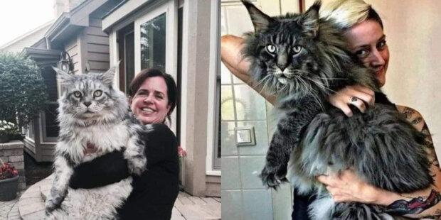 Králové koček: obrovské kočky také rády sedí v náručí svých majitelů