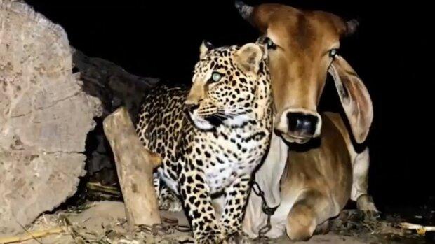 Leopard v noci navštěvoval stejnou krávu, není jasné proč