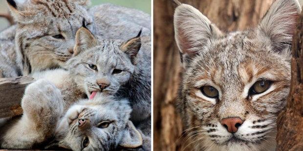 Měkké, chlupaté a s obrovskými tlapkami: Kanadské rysy jsou považovány za nejkrásnější chlupaté dravé kočky