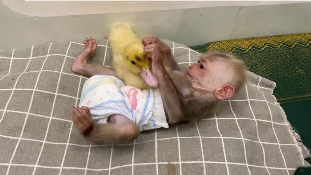 Malý šimpanz se spřátelil se žlutým káčátkem: hráli si, dá se i spát