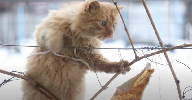 Zmrzlý kocour zaklepal na okno a požádal o pomoc: Po ošetření a koupání začala kočka vypadat jako malý lev