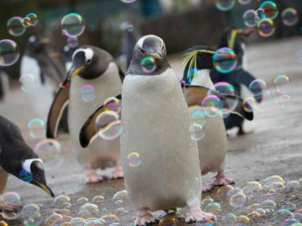 Směšně honí bubliny. Potěší nejen děti, ale i dospělé: tučňáci v zoo dostali novou zábavu